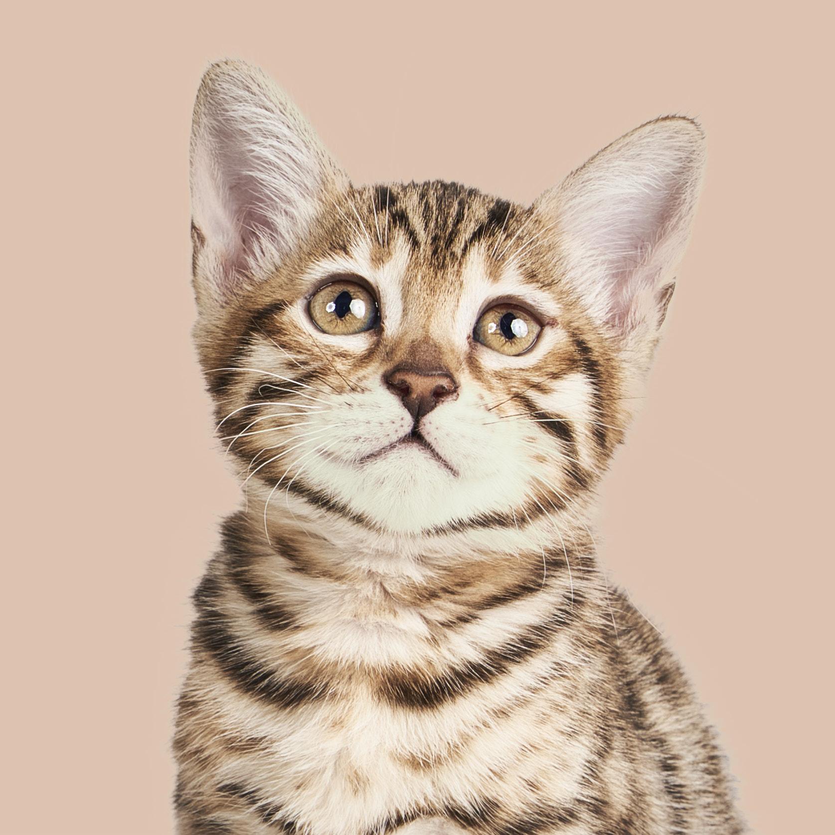 Gatos : Ele