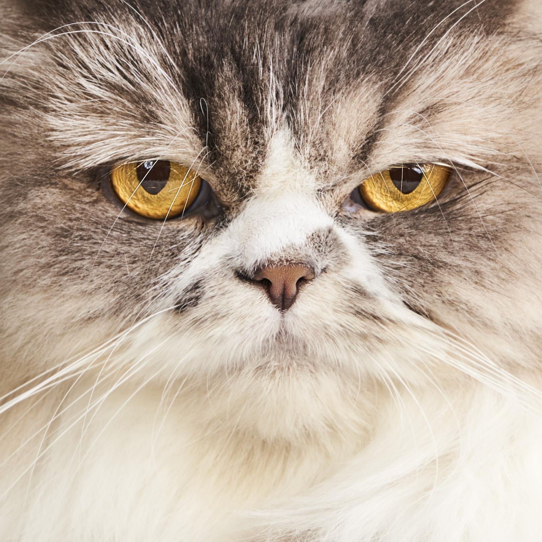 Gatos Sofia